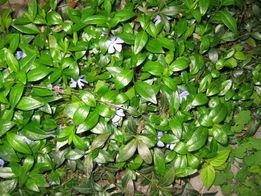 кусты Барвинка фиолетового и белого цвета
