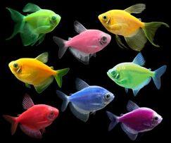 Продаю оптом Тернеции ГЛОФИШ девять разных цветов