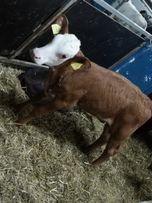 Witam sprzedam byczki mięsne SM LM bb ncb
