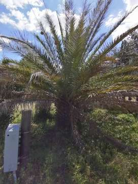 Palm tree's for sale