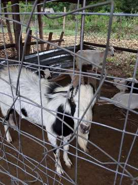 Healthy Breeding indgenous male goat or sale
