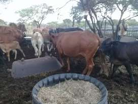 Cows for sale