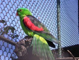 Краснокрылый попугай в наличии взрослые пары и молодняк!!!