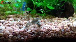 Аквариумные Болотные карликовые раки (Cambarellus puer)