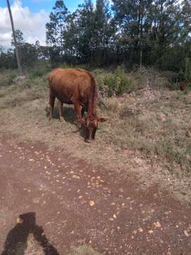 2 X Pregnant Cows for Sale