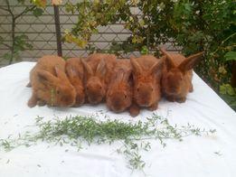 Кролики малыши Азовский Горностаевый