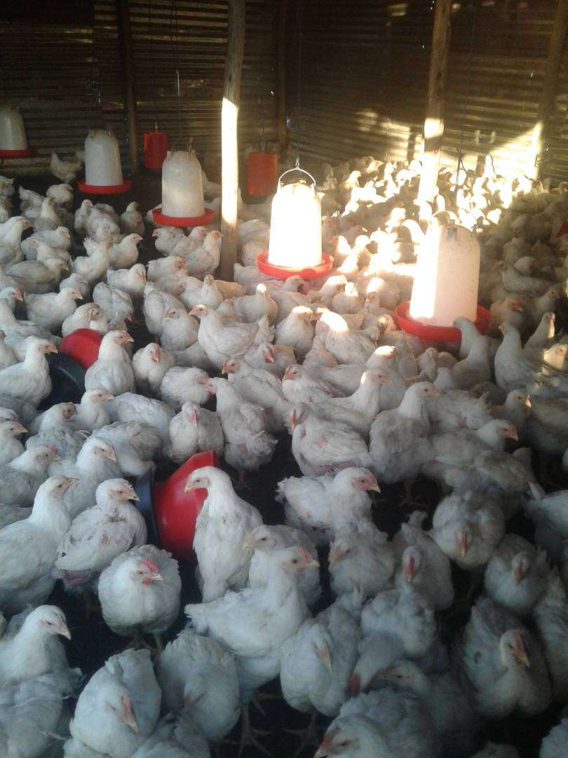 BROILER CHICKEN FOR SALE 0