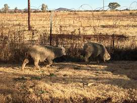 Sheep in potch for sale