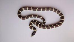 Змея не ядовитая и оборудованный террариум , змея с террариумом