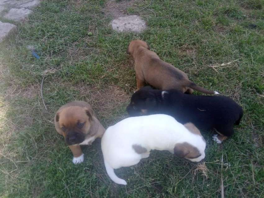 Jack Russell Bokkie Cross Puppies for Sale 0