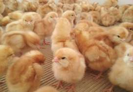LOHMAN BROWN DAY OLD CHICKS