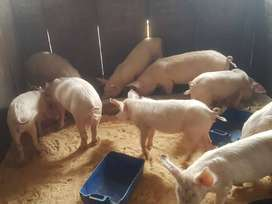 Pigs for sale from R600-700