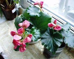 Бегония зимняя — Begonia x hiemalis, черенки