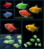 Тернеция цветная, glofish