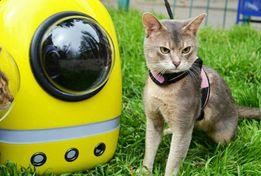 Абиссинский кот, Вязка