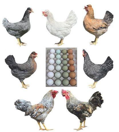 Инкубационное яйцо / Цветное яйцо / Доминант / Птицефабрика