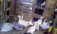 Geese mature 0