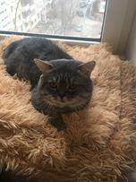 Прямоухий кот приглашает на вязку вислоухих и прямоухих кошечек