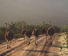 young ostrich  females for sale