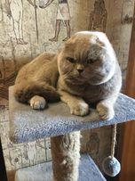 Вязка шотландского вислоухого кота