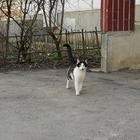 отдам черно-белого котенка, девочка, 8 месяцев, стерилизована