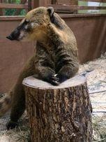 Носуха или коати- разного возраста и пола