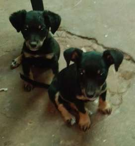 Got these adorable mix Jack Russells for sale to good home WhatsApp