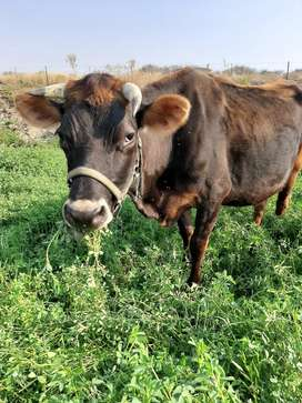 Jersey-mix cow