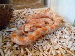 Wąż zbożowy Orange
