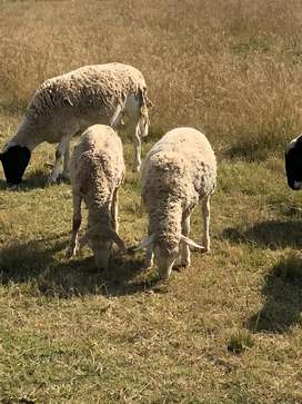 Sheep starting from R1800-R2200