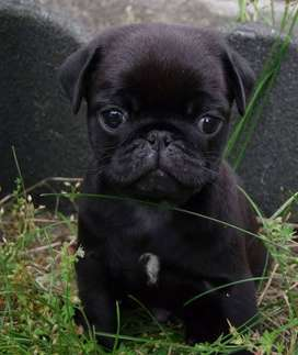 looking for a pug puppy