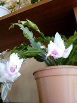 Декабрист-шлюмбергера бело-розовый и розовый