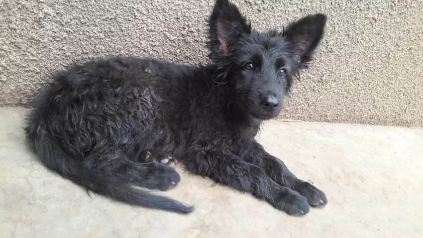 Solid black  Germany puppies available 0