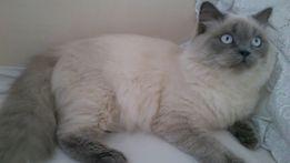 Шотландский прямоухий кот приглашает на вязку, вязка котов