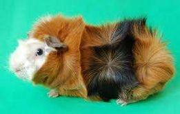 Необычные свинки уже в продаже