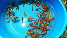 5cm Koi for sale - Assorted colors