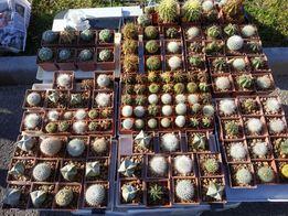 Продам кактуси, широкий вибір, свої сіянці
