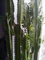 черенки кактуса Молочая трехгранного ( Эуфорбия)