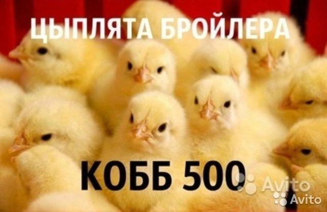 Суточный бройлер кобб-500. Донецк - изображение 1