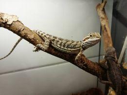 1Продам ручную ящерицу - агаму Киев