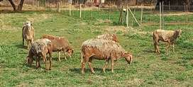 Meat Master Ewes available for sale at Tshwane Livestock