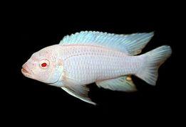 Pseudotropheus socolofi albino Снежный принц Малавийские Цихлиды