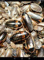 Аргентинский таракан. Корм.насекомые