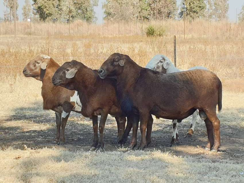 Meatmaster Rams - Excellent quality breeding rams 0