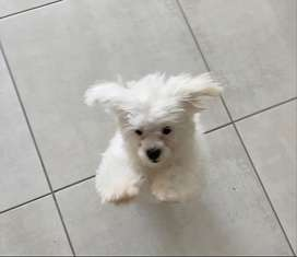 Maltese puppy for sale. Very healthy and beautiful