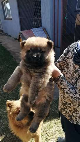 Looking for female Chinese Chow puppies