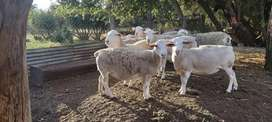 White Dorper ewes for breeding