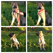 Бесплатно : крупный щенок кобель Герман , 7 мес