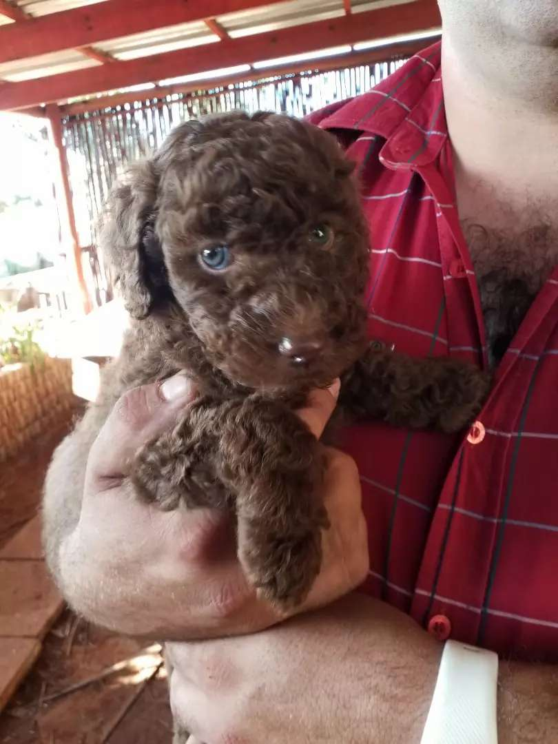 Standard French poodle puppies for sale 0