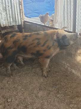 Pigs for sale( duroc & large whites)